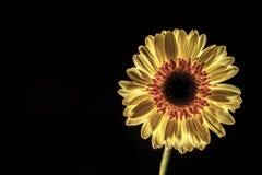 Low key  of a gerbera flower Royalty Free Stock Photo