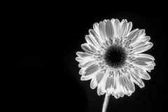 Low key of a gerbera flower stock photography