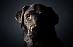 Low Key Head Shot of a Strong Labrador Stock Image