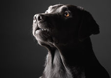 Low Key Labrador Royalty Free Stock Photography