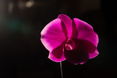 Low key photo of Vanda orchid, violet orchid, macro orchid, closeup orchids, orchid with pollens Stock Photo