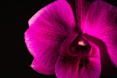 Low key photo of Vanda orchid, violet orchid, macro orchid, closeup orchids, orchid with pollens Stock Images