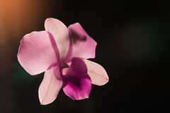 Low key photo of Vanda orchid, violet orchid, macro orchid, closeup orchids, orchid with pollens Stock Photography