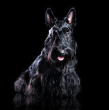 Low key portrait of a black scottish terrier Royalty Free Stock Image