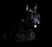 Low key portrait of black scottish terrier Royalty Free Stock Image