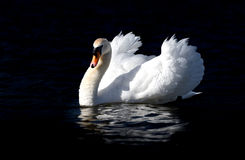 Low Key Portrait of Male Swan. A large male swan is seen in threat posture. His white feathers are shown in fine detail against the near black background Royalty Free Stock Photos