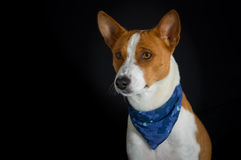 Low key portrait of stylish canine model Royalty Free Stock Images