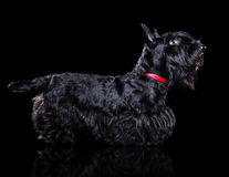 Low key  silhouette of a standing scottish terrier Royalty Free Stock Photography