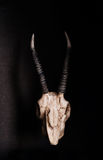 Low key, Skull of goat on black background, front view Royalty Free Stock Images