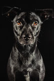 Low key studio portrait of a black labrador mix do. G against black background Stock Photo