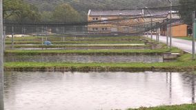 Low laithe trout, sturgeon and carp other fish farm breeding in the rescue, for sale at Christmas, protection of the. Low laithe trout, sturgeon and carp other stock video