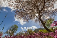 Blossoming almond tree and purple flowers in a field during earl Royalty Free Stock Image