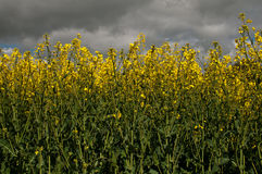 Low level view of seed crop. Yellow crop of seed oil for bio-fuel with stormy sky background stock photography