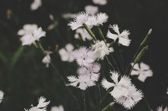 Low Light Photo White Petaled Flowers Royalty Free Stock Photography