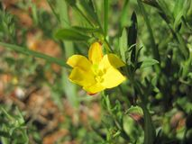 Low menodora Menodora heterophylla Wildflower royalty free stock photo