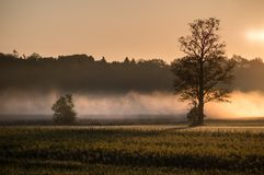 Low mist rising between trees. At sunrise royalty free stock image