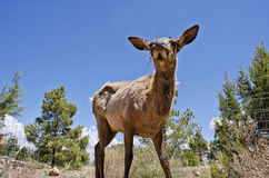 Low Perspective Deer Photo. Shot of a Deer from a low perspective Stock Images