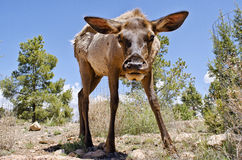 Low Perspective Deer Photo. Shot of a Deer from a low perspective Stock Photography