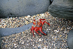 A low perspective of a red crab on the beach among rocks Royalty Free Stock Photography