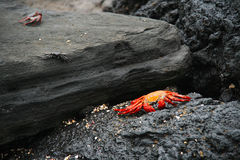 A low perspective of a red crab on the beach among rocks Stock Images