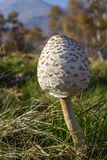 Low perspective shot of young Parasol mushroom Macrolepiota Procera with alpine landscape as background. Stock Photography