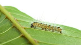 Low point of view on crawling caterpillar Stock Photo