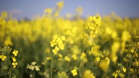 Canola. Low point of view footage of a canola and seed field stock video