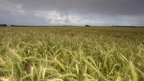 Footage of golden wheat field stock video