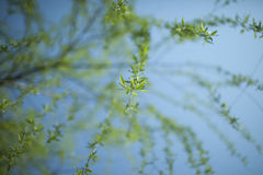 Low point view of willow leaf Royalty Free Stock Image