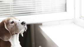 Low saturation footage: a beagle smells something out of the open window stock video footage