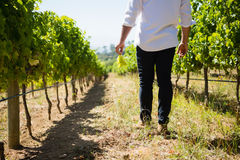 Low section of vintner walking in vineyard. On a sunny day Royalty Free Stock Photo