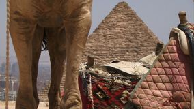 View of pyramid and camel. Low shot of camels legs and pyramid stock footage