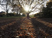 Low autumn sun through oak tree. Low sun shining through an oak tree in autumn casting a shadow in the foreground Royalty Free Stock Photo