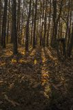 Low sunlight casting rays and shadows between trees in forrest. Low warm colored sunlight casting rays and shadows between trees in forrest during fall season Stock Images