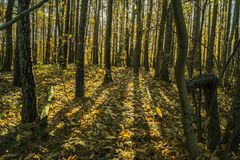 Low sunlight casting rays and shadows between trees in forrest Royalty Free Stock Photos