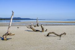 Low tide Amity. Eroded dead trees reveal thenselves at low tide near Amity on North Stradbroke Island. The tourist destination is off the coast of Brisbane Royalty Free Stock Images