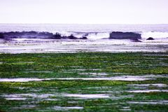 at low tide in the bay, on the sea shore algae and sea kale are thrown away, waves royalty free stock photo