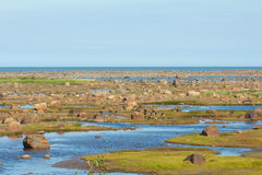 Low Tide and Canada Geese Stock Photos