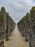 Low tide exposing rows of mussels cultivated on robes attached to poles in the bay of Wissant at Cap Gris-Nez, Pas-de-Calais in stock image