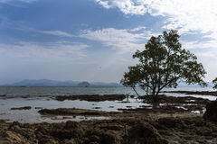Low Tide and Mangrove Tree. Royalty Free Stock Images