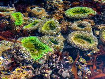 Sea Anemone in Tide Pool royalty free stock photo