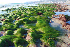 Low tide showing  surf grass (Phyllospadix sp.)  at Cleo Street, Laguna Beach, California. Image shows an extreme low tide and surf grass &#x28 Royalty Free Stock Photo