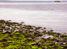 Low Tide at Silver Sands State Park in Milford. Fluorescent green sea lettuce Ulva lactuca seaweed and deadmans fingers green fleece coating the rocky shore at Stock Photo