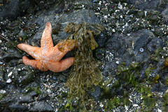 Low tide starfish Stock Photo