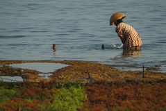 Seaweed Farming on the Island of Nusa Lembongan, Bali. Stock Photos