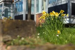 Bunch of yellow daffodils in a garding during spring. Low view on a lonely bunch yellow of daffodils amidst the grass in a home garden in London during a nice Royalty Free Stock Photos
