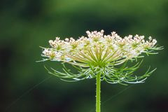 Abstract View of a Queen Anne 's Lace Wildflower royalty free stock images