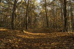Low sunlight casting rays and shadows between trees in forrest Stock Images