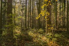 Low sunlight casting rays and shadows between trees in forrest Royalty Free Stock Images