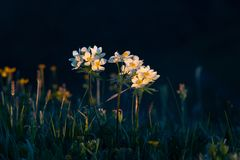 Free Low White Flowers In The Mountains At Dawn Illuminated By The Sun Royalty Free Stock Photography - 149374057